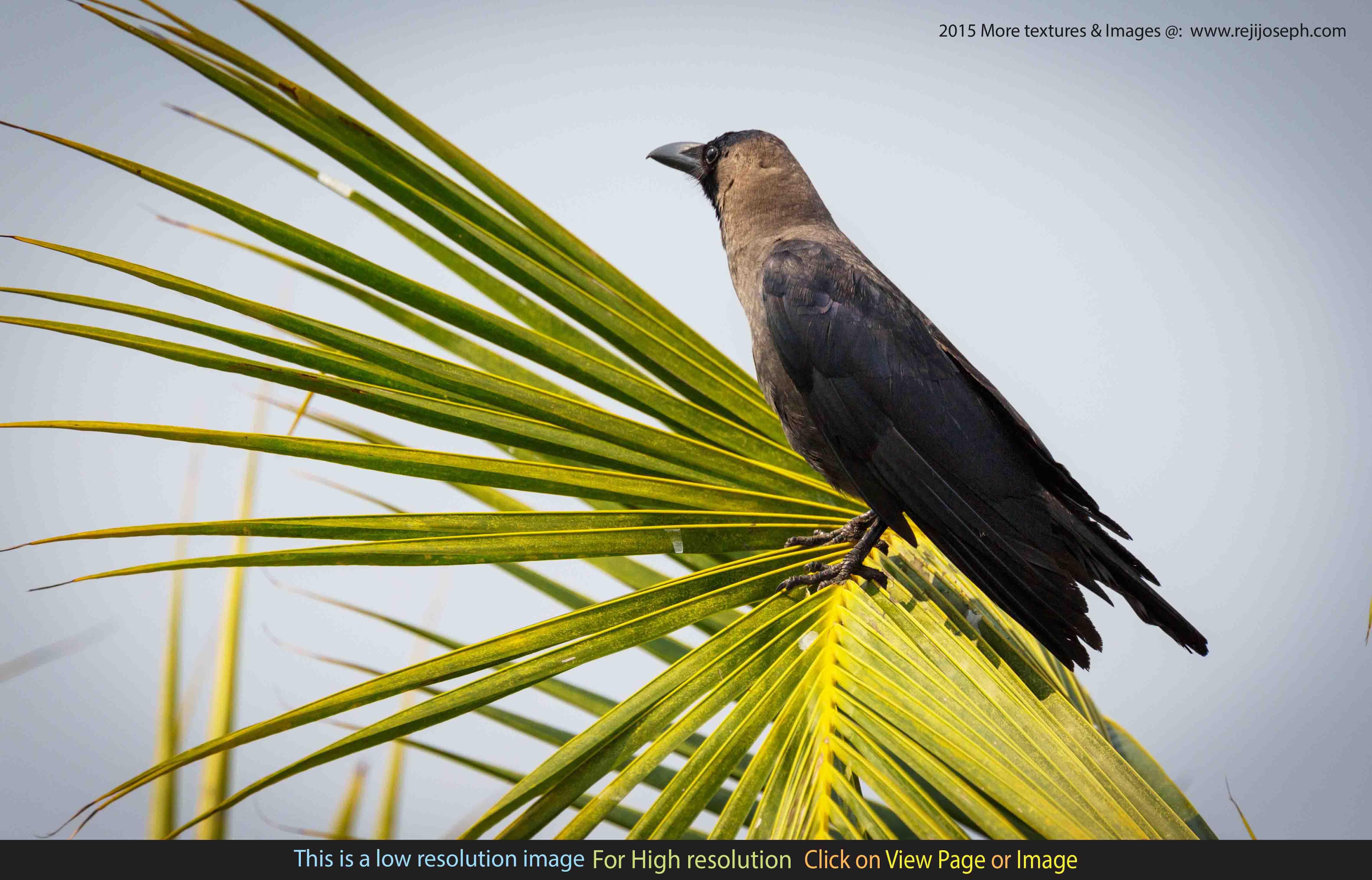 Indian crow bird 00001