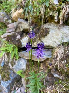 [Campanulaceae] Phyteuma sp.