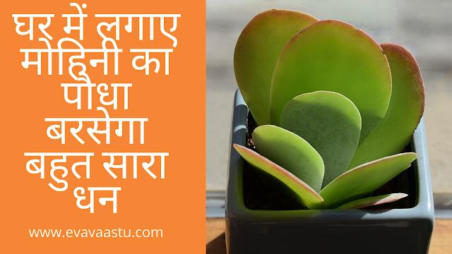 Mohini Plant in Hindi| घर में लगाए मोहिनी का पौधा बरसेगा बहुत सारा धन