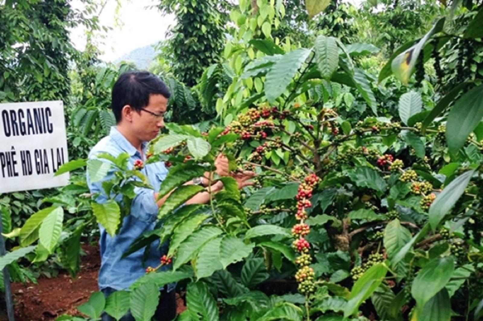 Gia Lai: Thu tiền tỷ từ vườn tiêu xen cà phê hữu cơ