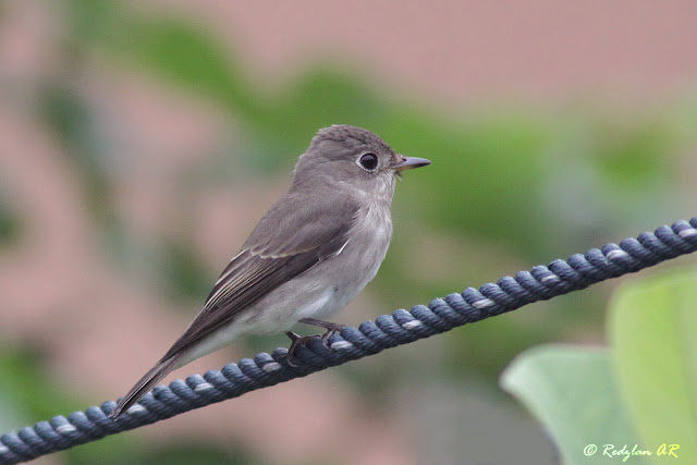 Asian Brown Flycatcher - Sambar Asia is back in my backyard