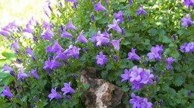'Chelsea Chop' truco jardinero para plantas que florecen en verano