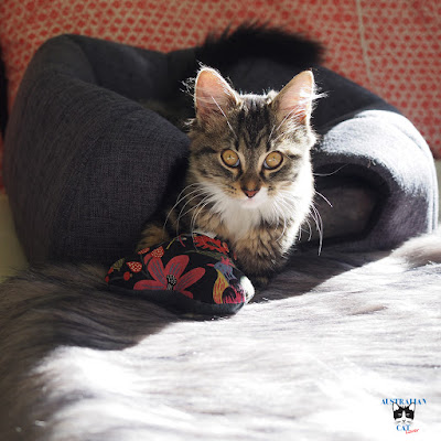 Kitten Arya enjoying her cat cave and Labvenn faux fur Fora Blanket