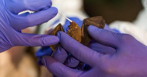 new coronaviruses from bats
