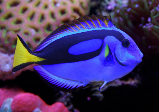 Dunia Ikan Hias - Botana Blue Tang