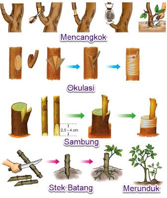 Contoh Perkembangbiakan Vegetatif Buatan Pada Tumbuhan