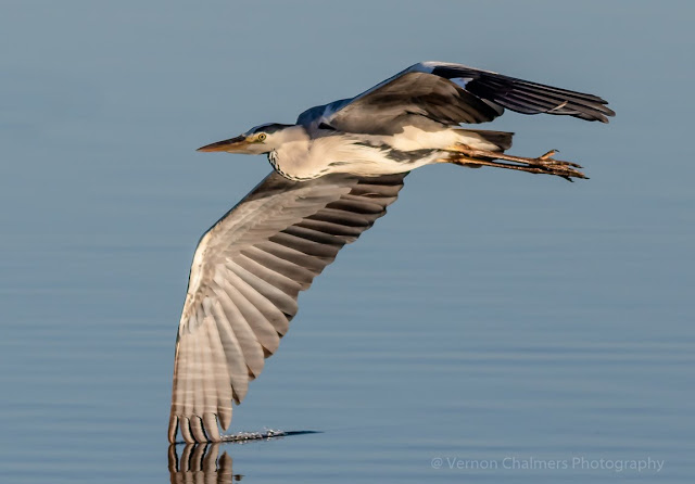 Grey heron low flying over the Diep River, Woodbridge Island