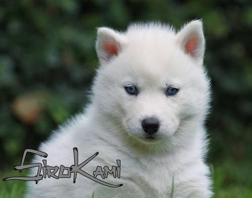 Cachorro Husky Blanco Puro con Ojos Azules Sirokami