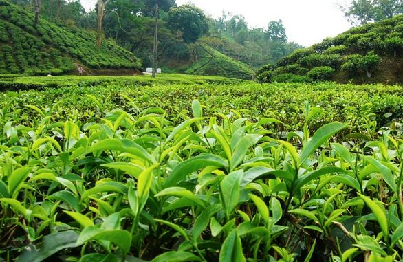 Sylhet Tea Garden Photo