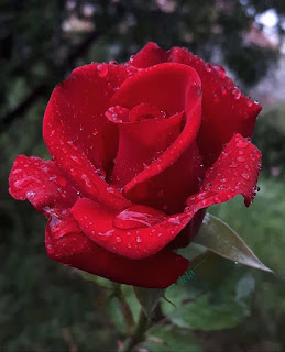 Red ROSE Images Free Download 2020