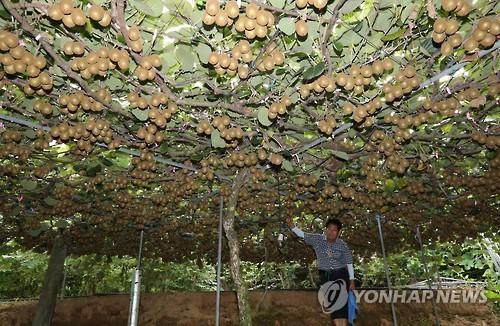 Enorme árbol de kiwis en Corea del Sur