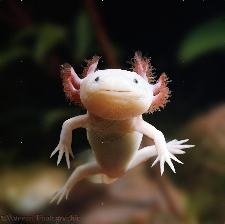 Salamander Lucu Dan Imut Yaitu Axolotl Rahasia