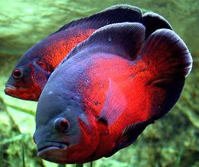 7 Jenis Ikan Oscar Terpopuler Di Indonesia Iwak Galak