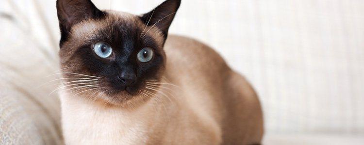 SIAMESE CAT - Best Cat Breeds