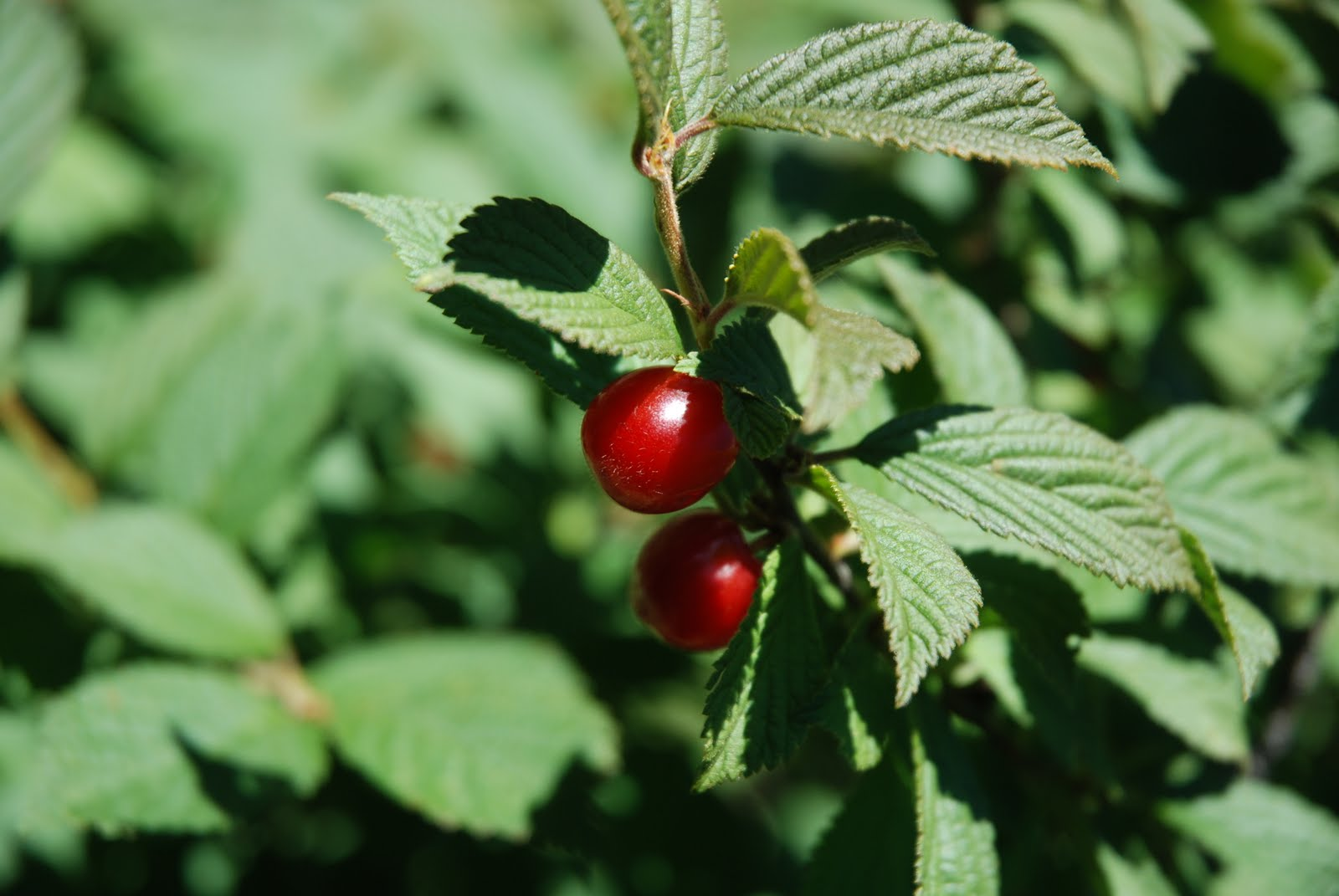 Temperate Climate Permaculture: Permaculture Plants: Nanking Cherry