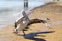 Pelicans, San Remo, Phillip Island