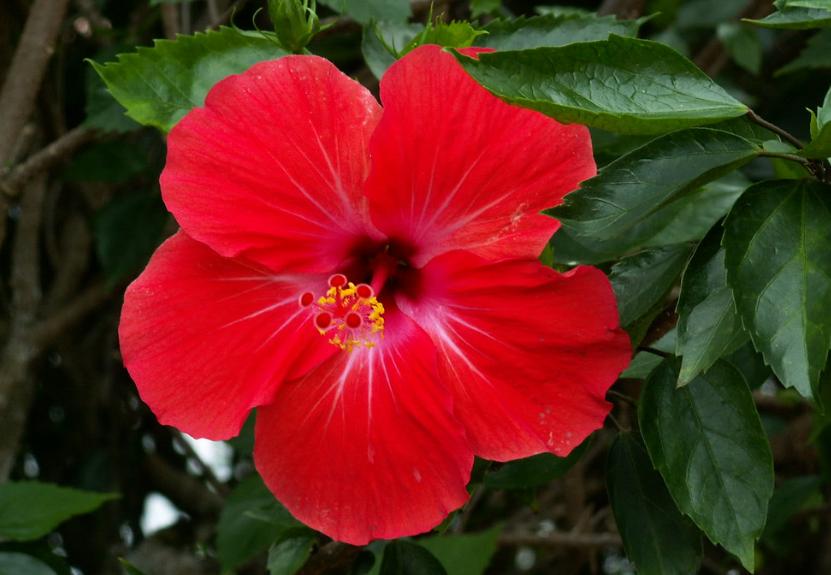 1001 Khasiat Pokok Bunga Raya Yang Masih Ramai Orang Tak Tahu