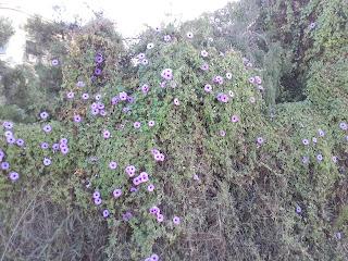 purple bindweed in Cyprus