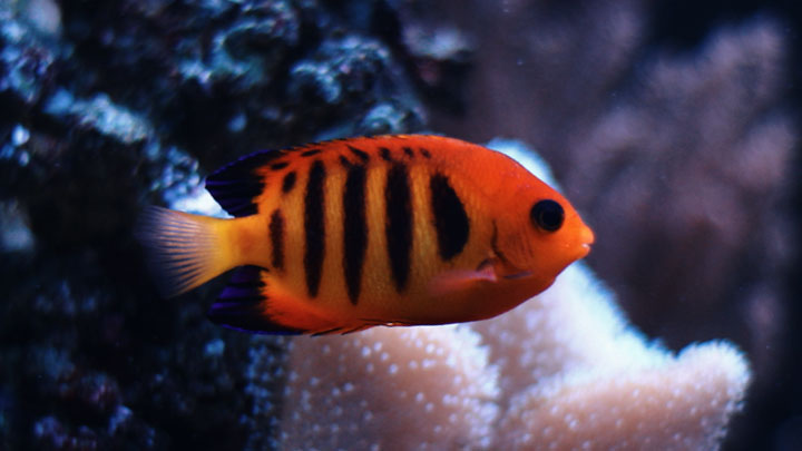 flame angelfish facts