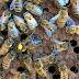 تقوية خلايا النحل الضعيف