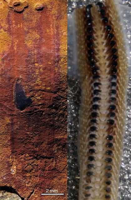 Spiny, armoured slug reveals ancestry of molluscs