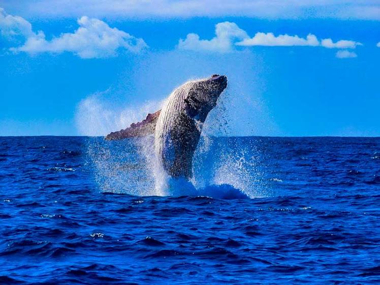 Aberta temporada de observação de baleias-jubarte