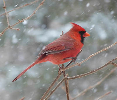 Photo of a Northern Cardinal on a branch in a snow storm