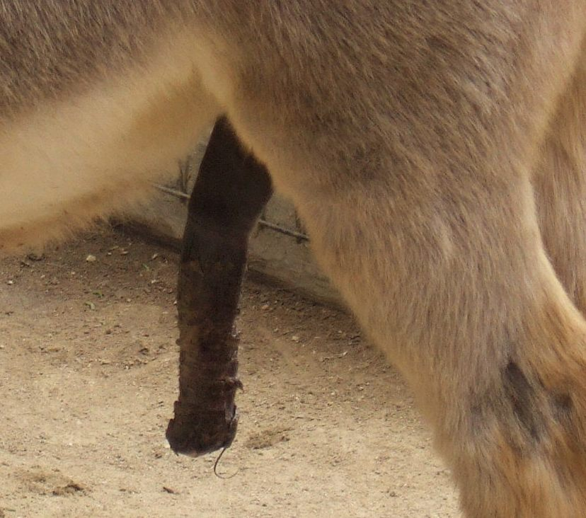 Right! donkey penis picture that