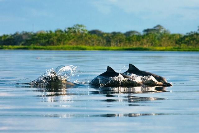 Veja os golfinhos na Amazônia