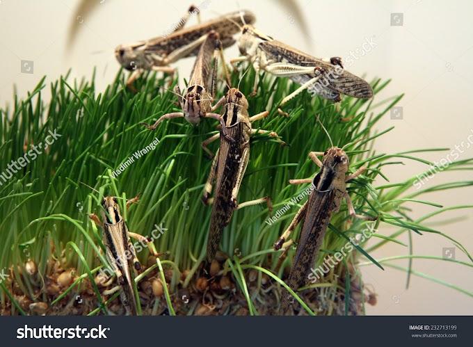 পঙ্গপাল মানে কি| Locust Swarm
