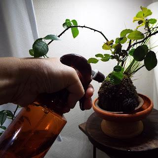 薔薇の苔玉への水やり