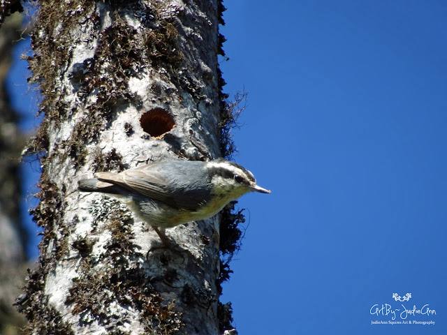Nuthatch Makes A Hole 9 Photos + Video