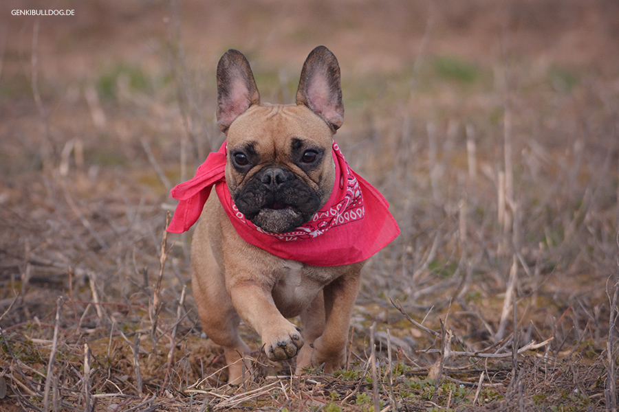 Hundeblog Französische Bulldogge Juckreiz