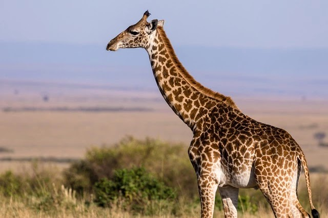 150 Interesting Facts About Giraffes