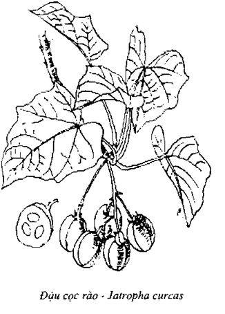 Hình vẽ Đậu Cọc Rào - Jatropha curcas - Nguyên liệu làm thuốc Nhuận Tràng và Tẩy