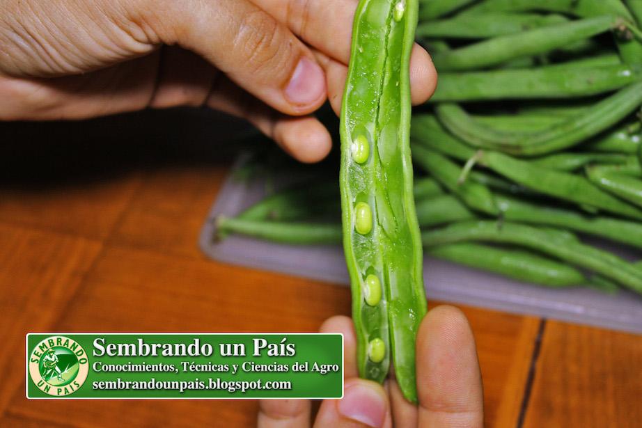 semillas inmaduras de vainitas o ejote
