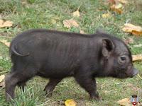 Cresterea porcilor vietnamezi