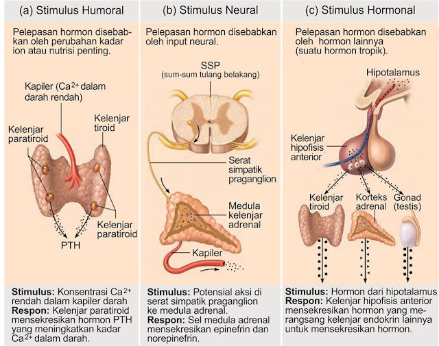 Tiga jenis stimuli kelenjar endokrin