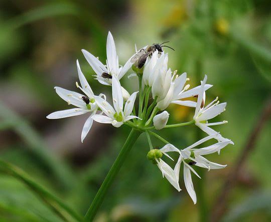 Czosnek niedźwiedzi (Allium ursinum L.).
