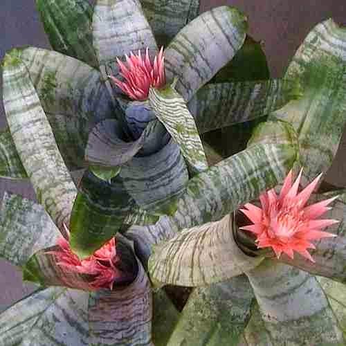 Полезный комнатный цветок Эхмея полосатая.
