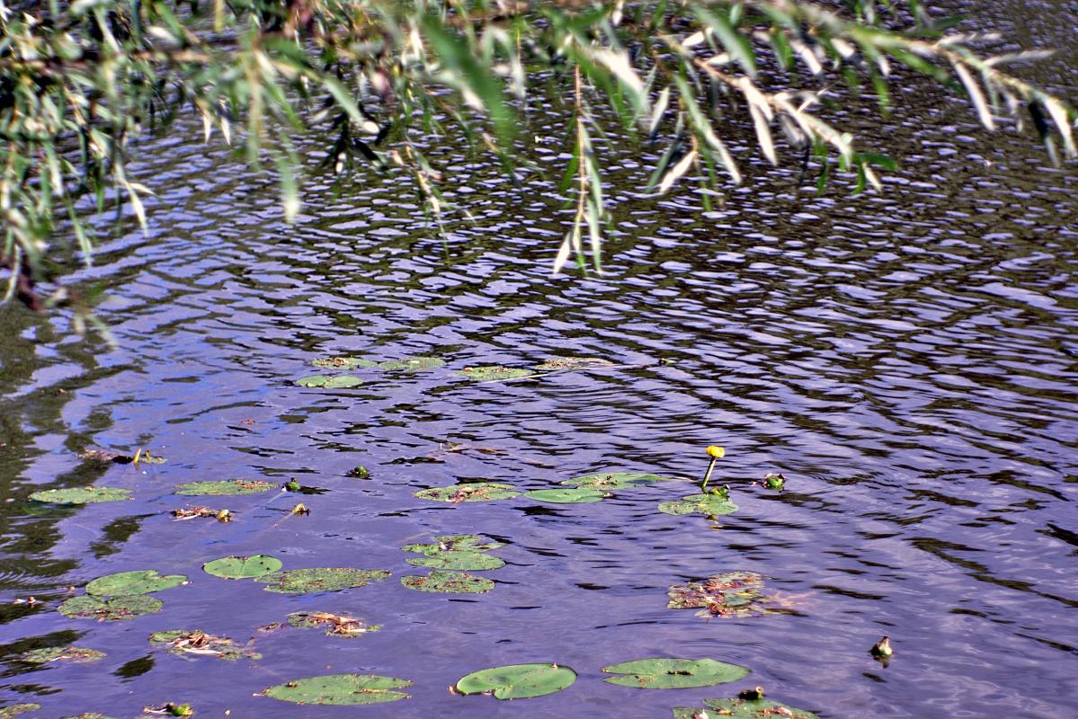 Seerosen in natürlicher Umgebung (2)