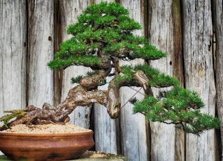 Images - Simple Ways to Grow Bonsai Plants
