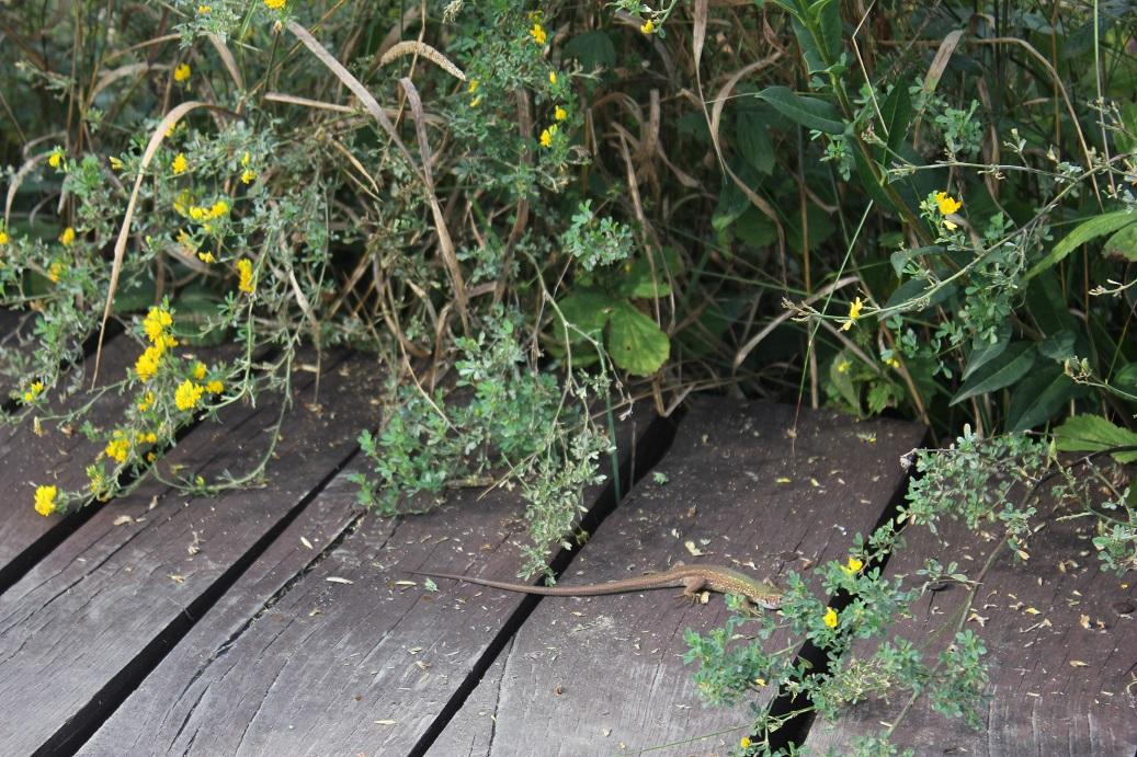 ještěrka v Národním parku Podyjí