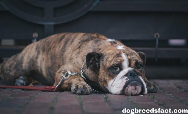 Top 10 Most Dangerous Dog breeds in the world