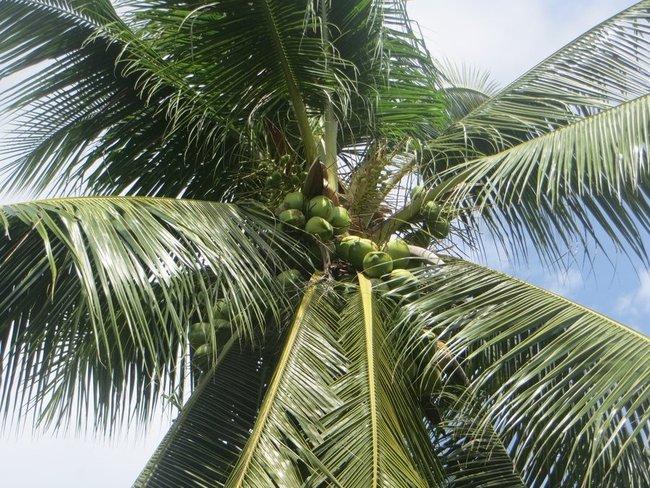 Зеленые кокосы на пальме