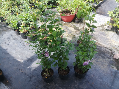 3 chậu dâm bụt tím mới mua về đều đang có nhiều nụ hoa và một số hoa đã nở