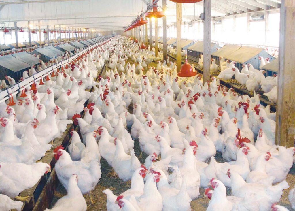 أسعار الدجاج في بورصة المنصورة للدواجن 2021
