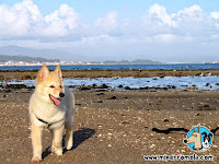 Cachorro de Can de Palleiro en la playa