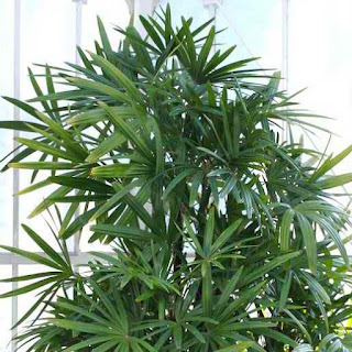 broadleaf lady palm, one of the top air-purifying plants