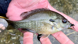 Redbreast Sunfish, Sunfish, Fly Fishing for sunfish, sunfish in texas, San marcos River, Fly Fishing the San Marcos River, Fly Fishing in San Marcos, Texas Fly Fishing, Fly Fishing Texas, Texas Freshwater Fly Fishing, Pat Kellner, TFFF